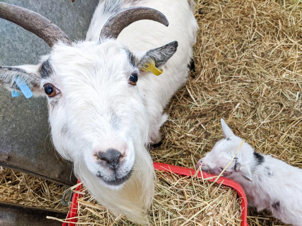 goats at Blaze Farm