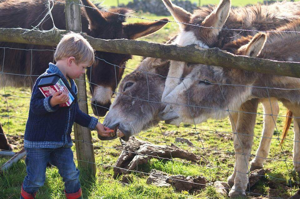 boy feeding donkeys in the Peak District